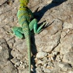 colorful lizard near picket wire trail in colorado